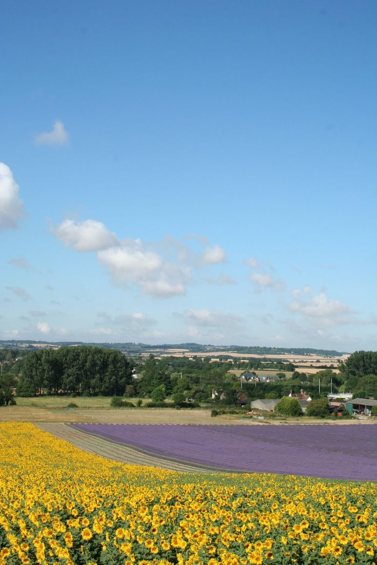 Sunflower & lavender fields at Hitchin, Hertfordshire, England. ( A lovely, very relaxing afternoon of lunch and picking lavender and sunflowers with friends 03.08.15).