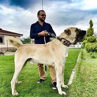 View worldof_dog's Instagram کانگال kangal #dog #kangal#سگ #کانگال#نگهبان #گارد #gurdترکیه#turkey . #kangal_worldof_dog 1443521406783804002_1463375879