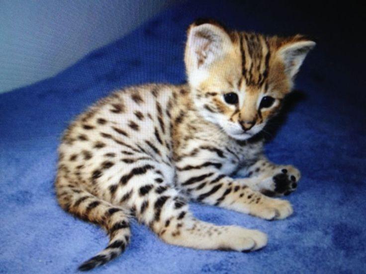 Bengal Cat Mom Kitten