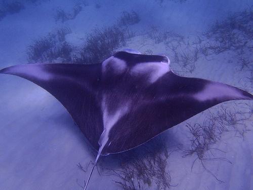 Manta-ray, Ningaloo reef, off Coral Bay, Western Australia.