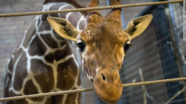 Feb 2014 - Marius, a healthy giraffe, killed and cut up by Copenhagen Zoo. No wonder they let the Grind at Faroe Islands go on, they butcher dolphins and whales there every year. See my Whales board. http://edition.cnn.com/2014/02/09/world/europe/denmark-zoo-giraffe/index.html?hpt=hp_t3