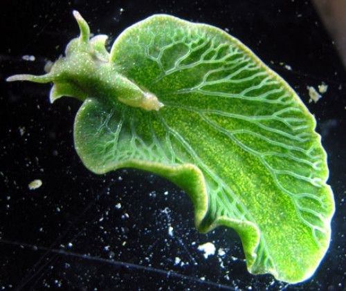 The chromosomes of this emerald green sea slug (Elysia chlorotica) have been recently shown to contain genes from the algae it eats, allowing it to sustain photosynthesis and live for months at a time 'feeding' on sunlight. by sicencedaily Image credit: Patrick Krug #Sea_Slug #Kleptoplasty #Photosynthesis #Gene_Transfer