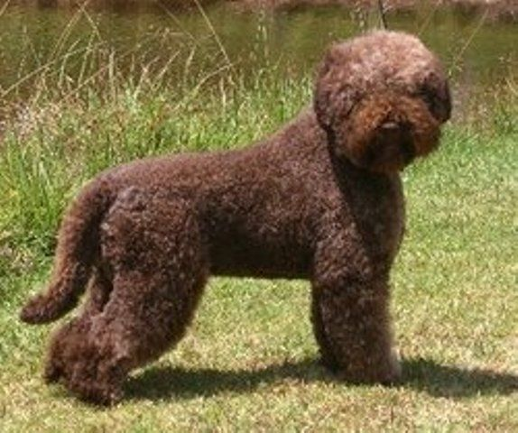 Italian Truffle Dog Puppy