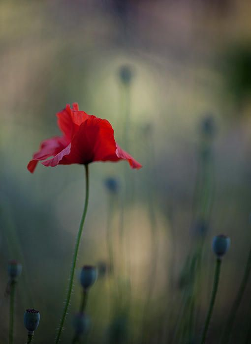 Single coquelicot poppy from last night