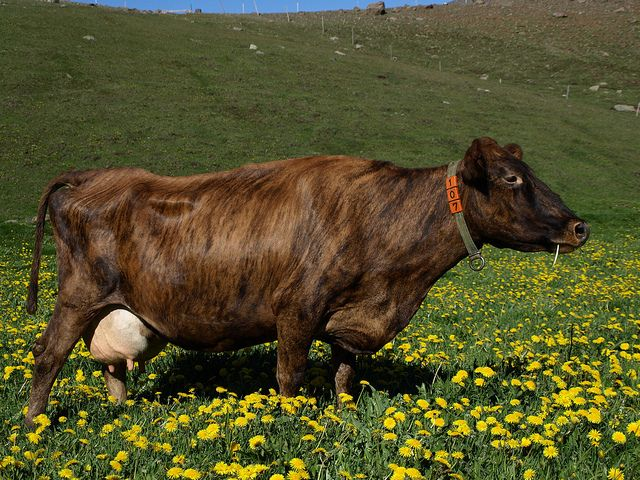 Icelandic dairy cattle