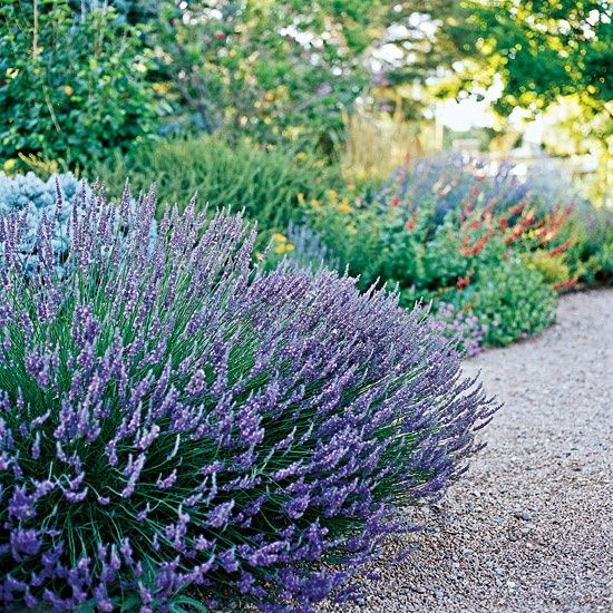The Best Drought-Tolerant Perennials: Lavender garden-front-terrace