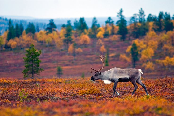Reindeer, Lapland - Finland... You were right we can have deer pets