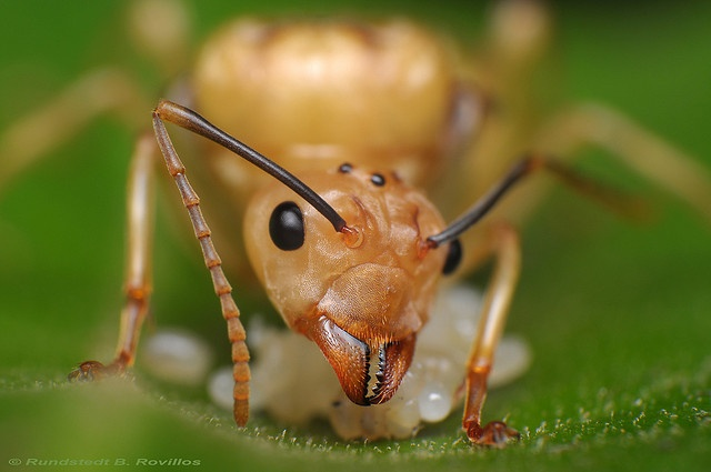 Queen ant by Rundstedt B. Rovillos, via Flickr