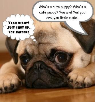 Funny Pug Wallpaper Funny Pug Image Funny Pug Graphic