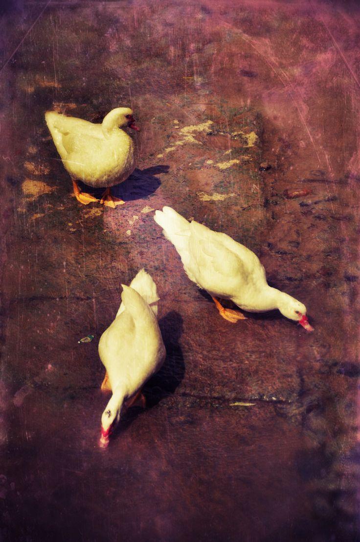 Duck, duck, duck