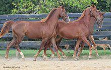 American Saddlebred - Wikipedia, the free encyclopedia