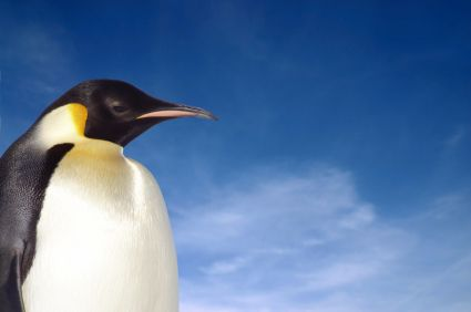 Emperor penguin from Animal Fact Guide
