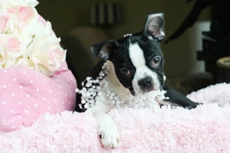 Boston Terrier Puppy For Sale #dog #puppy #bostonterrier #forsale #sale #dog #puppy