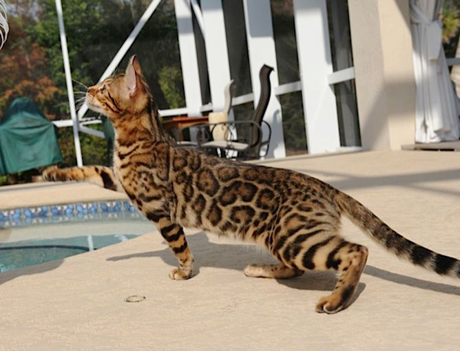 Here is where to get bengal cats for sale, female bengal cats available. More information on female bengal cat prices and bengal cat pictures here.