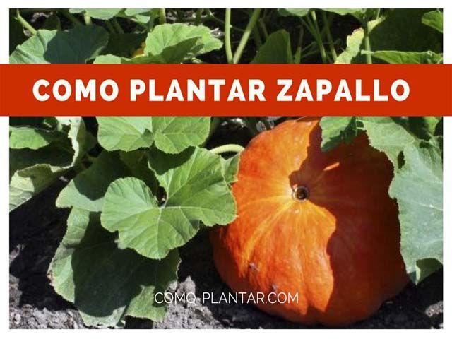 Como Plantar Zapallo Sus Cuidados Y Consejos En General Zapallo Cultivo Plantar Verduras Cultivo De Plantas