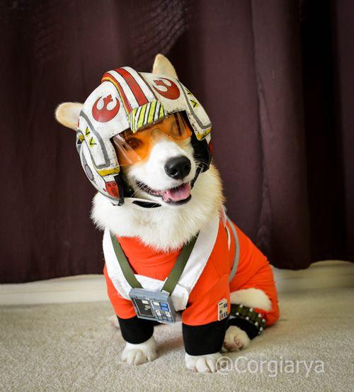 Star Wars X-Wing Pilot Corgi Cosplay http://geekxgirls.com/article.php?ID=6116