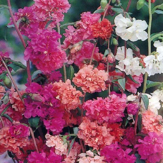 Elegant Clarkia Mix 100 Seeds Flower Seeds Flowers Flower Garden