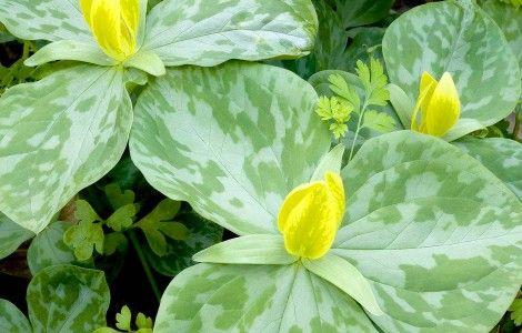 Yellow Trillium Flower Wallpaper