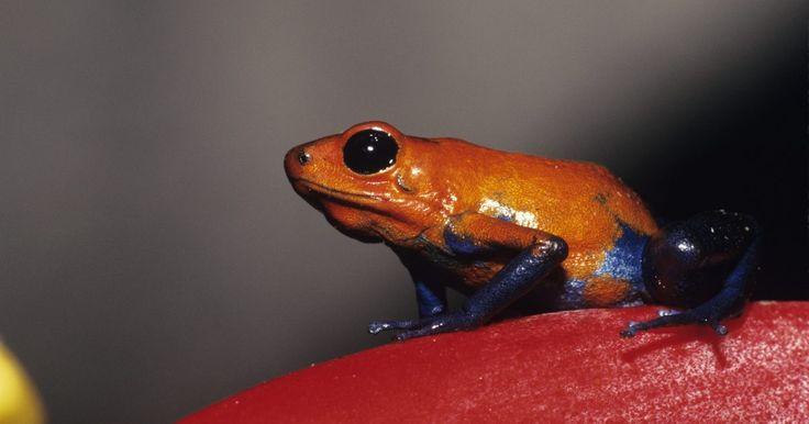 Tipos de ranas en la selva tropical latinoamericana. Las selvas tropicales latinoamericanas, que incluyen al Amazonas de América del Sur, la más grande del mundo, albergan miles de especies de ranas. Algunas pasan toda su vida en el toldo, mientras que otras habitan en el suelo del bosque o bajo él. Un brote de hongo quitridio, que afecta a la piel de los anfibios, ha agotado la población de ...