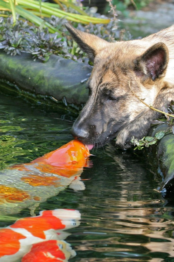 This just proves that having a koi pond in your backyard is soothing and calming even for pets! This is unbelievable!