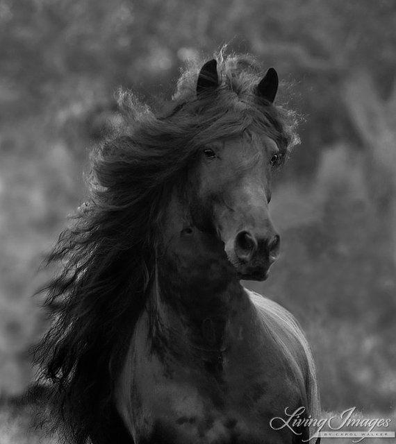 Black Friesian Comes Close  Fine Art Horse Photograph by Carol Walker www.LivingImagesCJW.com