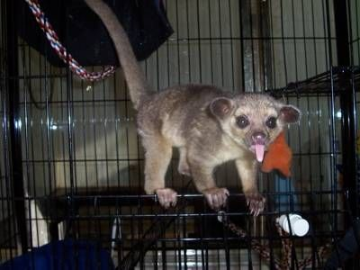 Kinkajous - They can emit quite a scream  Animals Zone