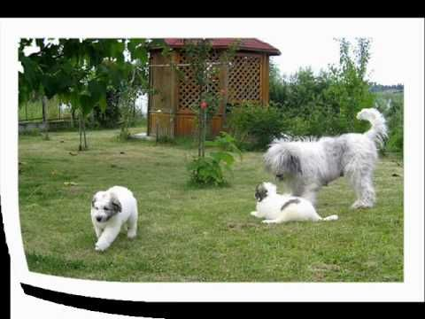 Cute puppy playing - Romanian Mioritic Shepherd dog - YouTube
