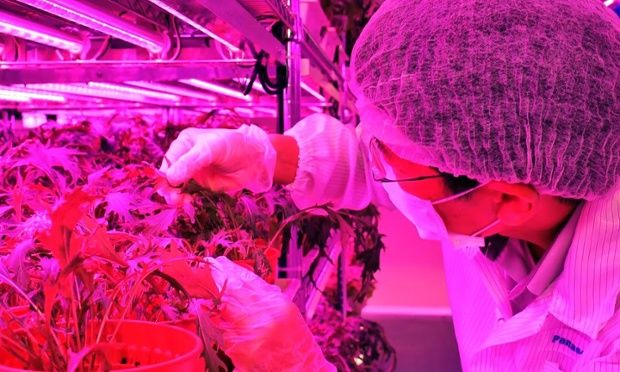 Panasonic, Toshiba and Fujitsu are among the electronics companies cultivating greens in indoor farms
