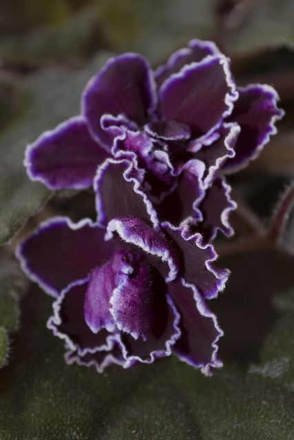 African Violet Saintpaulia 'Black Ace'