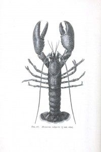Vintage printables     http://vintageprintable.com/wordpress/vintage-printable-animal/animal-crustaceans-and-related/animal-crustacean-lobster-crayfish-2-2/
