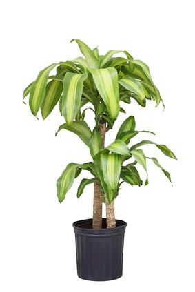 Dracaena massangeana cane, house plant for medium light... http://www.plantandflowerinfo.com/plant_care_dracaena