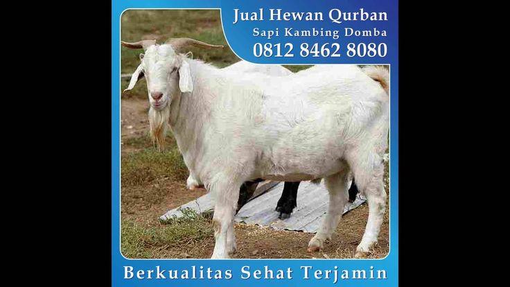 0812 8462 8080 (Tsel), Jual Kambing Qurban di Bukit Pelangi Rainbow Hils Jungleland Bogor