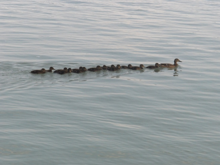 duck family :D