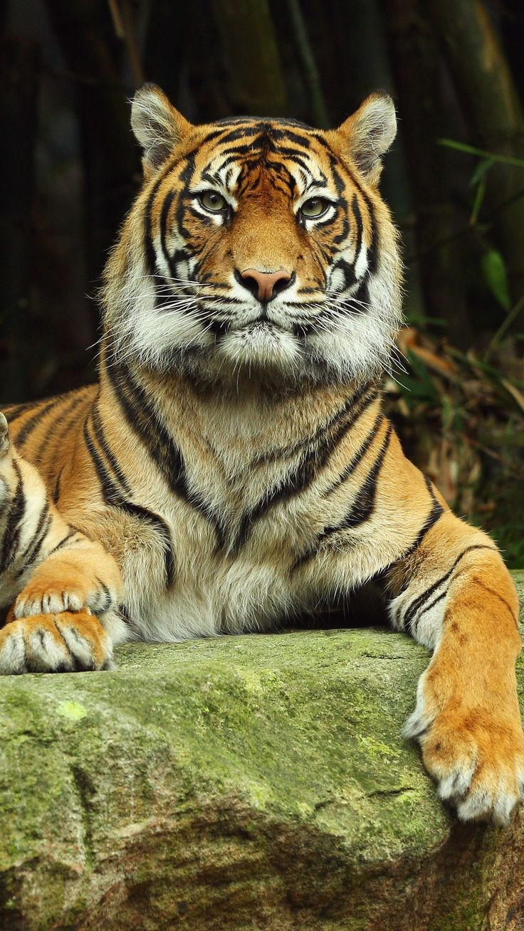 1080x1920 Wallpaper tiger, tiger cub, lying down, couple, caring