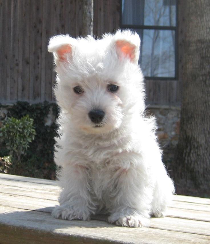 All About West Highland White Terrier Price Range Westie Puppies
