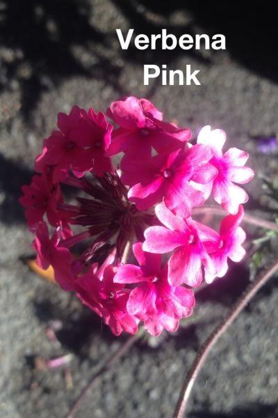 VERBENA pink
