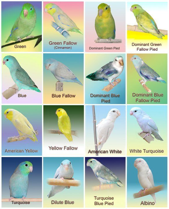 Pacific Parrotlet Color Mutation Chart | Parrotletbirds's Blog