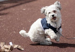 hank the ballpark pup | Hank the dog grounded in Phoenix while Brewers travel Hank, the ...