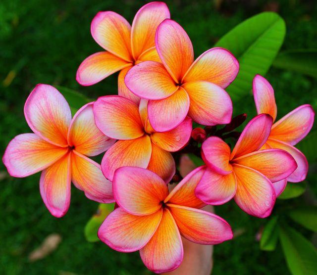 2149 best pr flowers images on pinterest beautiful flowers plumeriafrangipani jacandy mightylinksfo
