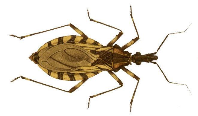 Tudo o que você sabia sobre a transmissão da doença de Chagas está errado