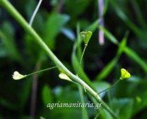 Αγριοκάρδαμο Capsella bursa-pastoris