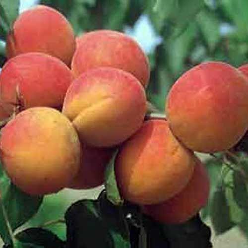 L'Abricotier Bergeron est un arbre de vigueur moyenne, à port demi-dressé. Sa floraison est demi-tardive.