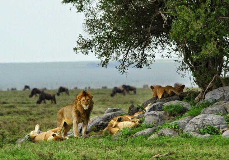 A grande migração dos gnus no Serengeti é um dos pontos altos de qualquer viagem a esta savana e levou a UNESCO a classificá-la Património Mundial da Humanidade. Os gnus movimentam-se na savana do Serengeti ao longo do ano, para sul na estação das chuvas e na direcção norte na estação seca. Nesta migração, os …