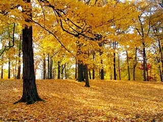 Golden #trees: Forests, Fall Leaves, Autumn Leaves, Trees Wallpapers, Fall Time, Desktop Wallpapers, Autumn Trees, Computers Wallpapers, Fall Color