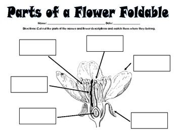 Remembering the parts of a flower can be a lot for young students. This activity is a foldable that breaks up the monotony of just paper pencil practice. For this foldable, students will have to: ♦ First identify the basic inner parts of the flower (sepal, petal, stamen, stigma, pistil, and embryo) ♦ Then match the function of each flower