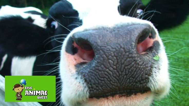 10 Facts About Cows You Might Not Know, But Probably Should If You Want ...