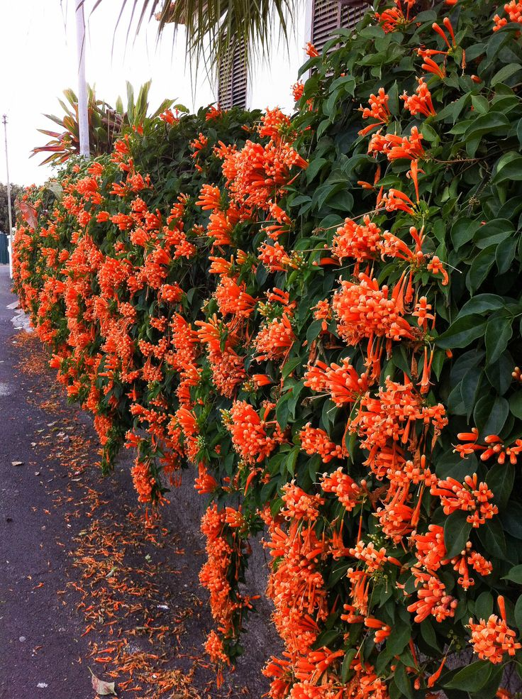 Trumpet Vine This Could Also Go On The Fence Blooms In