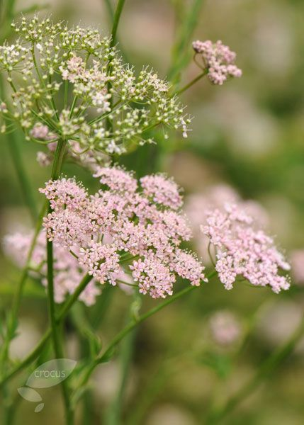 Pimpinella major 'Rosea' - an unusual plant which adds a loose informality to early summer plantings