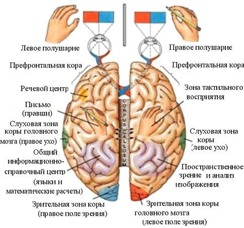Одно полушарие мозга не может быть развито больше, чем другое » MEGABITOV.NET