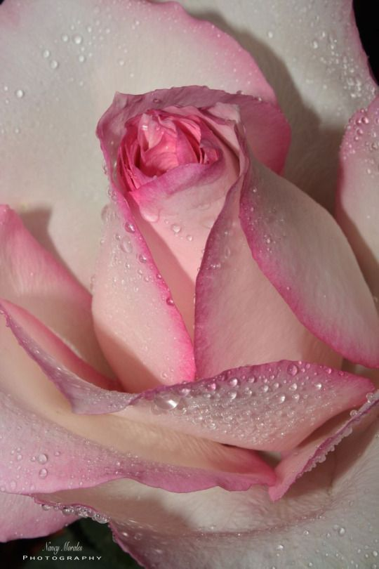 lacarolita:    There may be many flowers in a man's life, but there is only one rose.